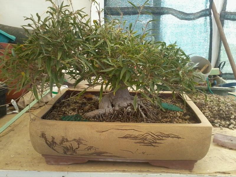 Ficus defoliation. Time is ripe.  2016-031