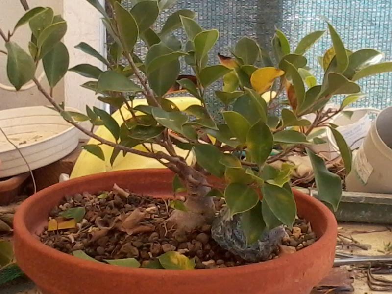 Ficus defoliation. Time is ripe.  2016-044