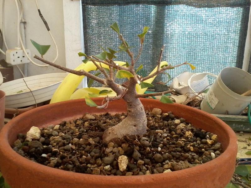 Ficus defoliation. Time is ripe.  2016-045