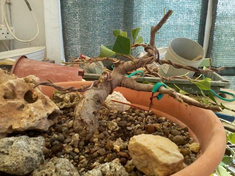Ficus defoliation. Time is ripe.  2016-047