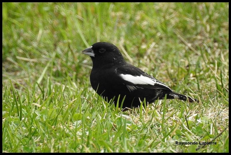 Bruant noir et blanc mâle Dscn4217