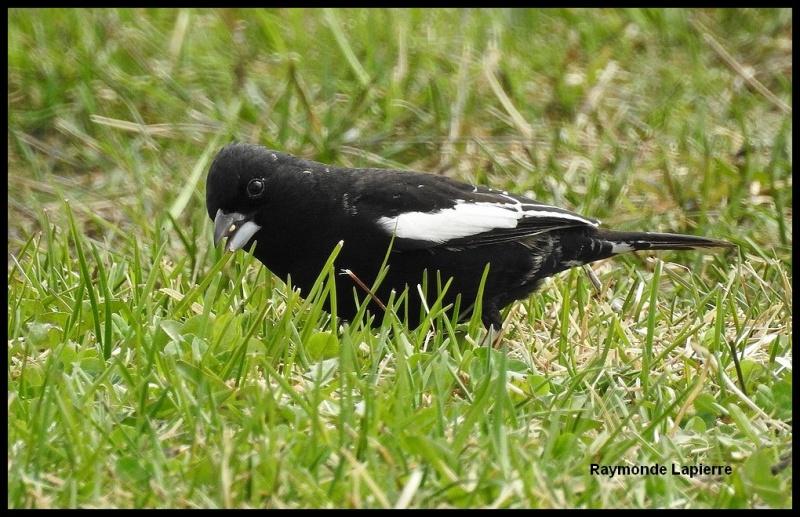 Bruant noir et blanc mâle Dscn4218