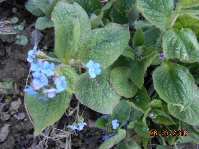 brunnera macrophylla ou myosotis du caucase Dscn2618