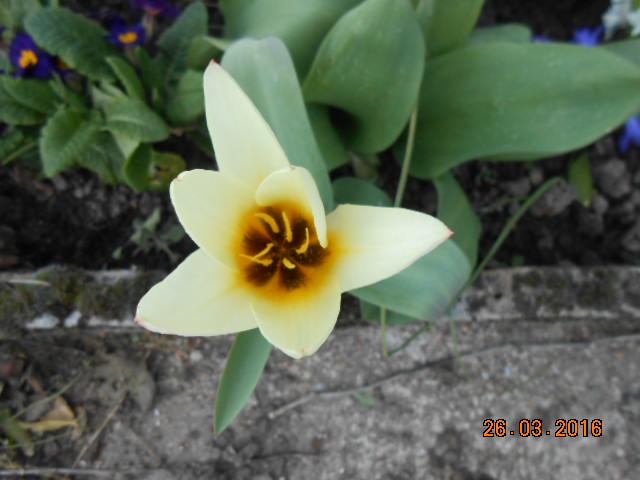 tulipe 2016 à 2019 Dscn2626