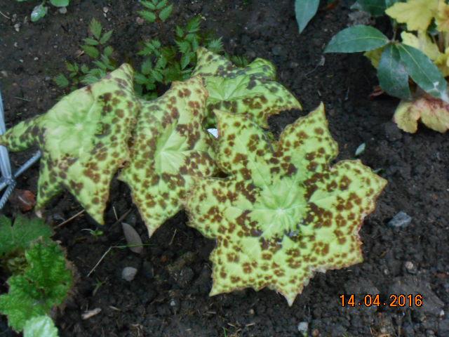 Podophyllum 'spotty dotty' - Page 2 Dscn2714