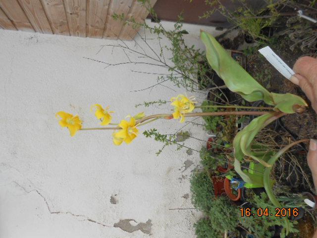 Erythronium  pagoda - Page 2 Dscn2725
