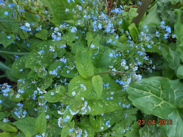 brunnera macrophylla ou myosotis du caucase - Page 2 Dscn2833