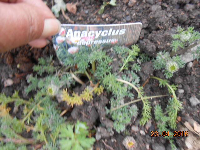 Anacyclus depressus Dscn2852