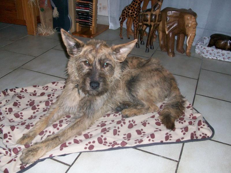 EMIE chienne croisée berger picard adoptée en aout 2010 100_0710