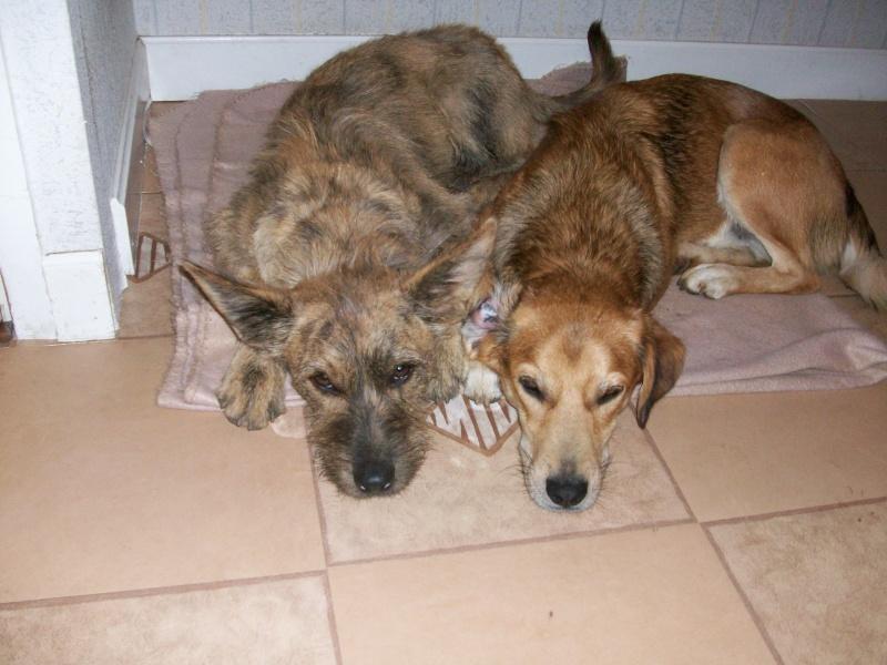EMIE chienne croisée berger picard adoptée en aout 2010 100_0711