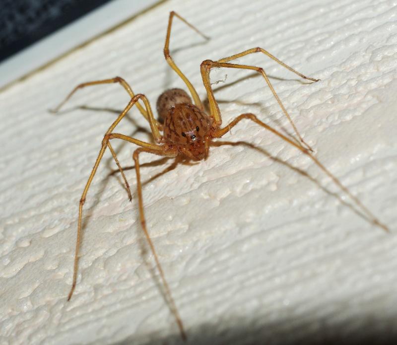 araignée scyctodes thoracica?mais pourquoi est-elle si pâle? Imgp1610