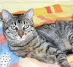 Miko, gato comun. Perdido en la zona sur de Madrid. Miko10