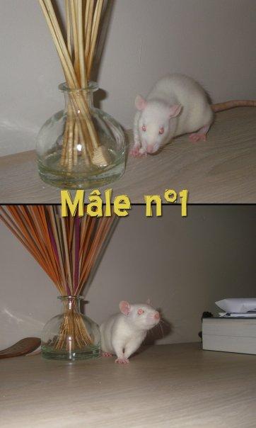 [BELGIQUE / MOUSCRON] 13 bébés rats en Belgique 110