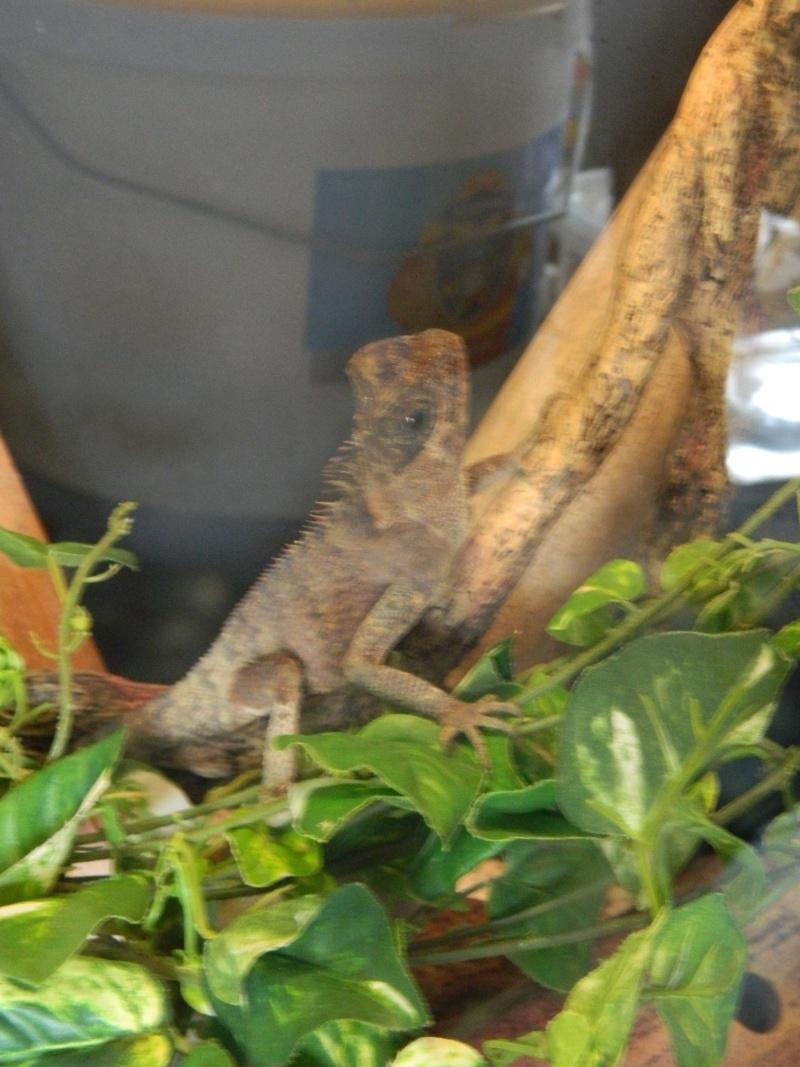 SpYro , Acanthosaura capra ( dragon des montagnes) [ à placer] Dscn2910