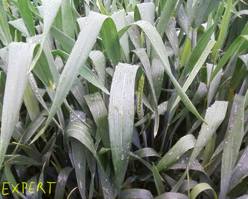 Les céréales d'hiver 2016 à partir de l'épiaison - Page 5 2016-014