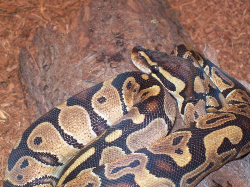 voici mon petit python regius il a environ 7 mois Photo_15
