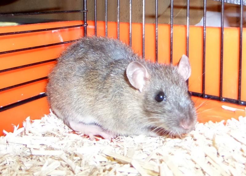les chroniques de Wild, rat sauvage Sam_4511