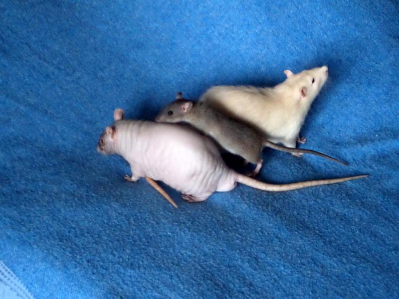 les chroniques de Wild, rat sauvage Sam_4521