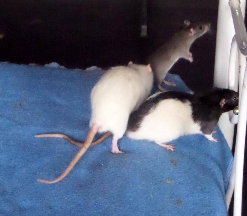 les chroniques de Wild, rat sauvage Sam_4610