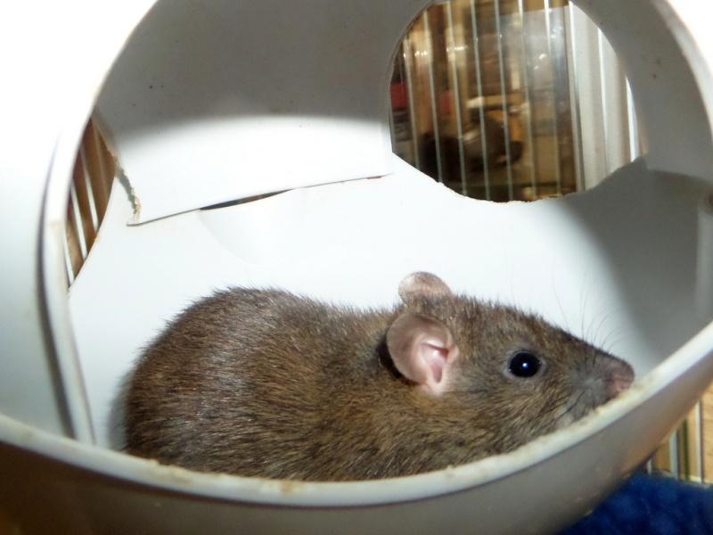 les chroniques de Wild, rat sauvage Sam_4616
