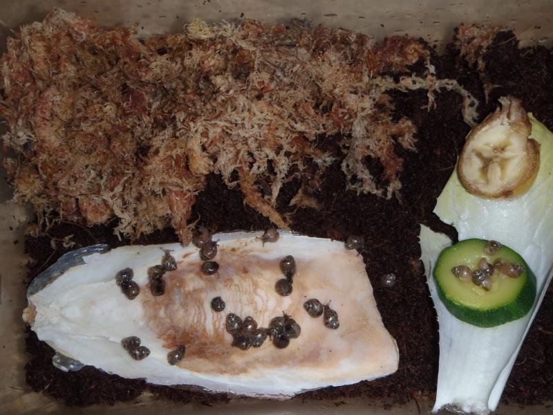 bébés lissachatinas fulica rodatzi, jadatzi, white jade et communs à vendre (edit: VENDUS) 01412