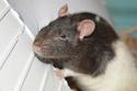 De retour dans le monde du rat Dsc_0012