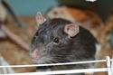 De retour dans le monde du rat Dsc_0013