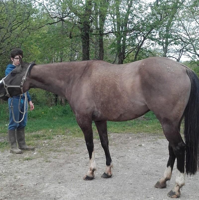 jument paint horse dun 20160444