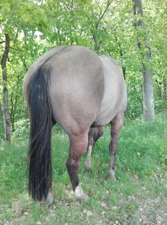 jument paint horse dun 20160454