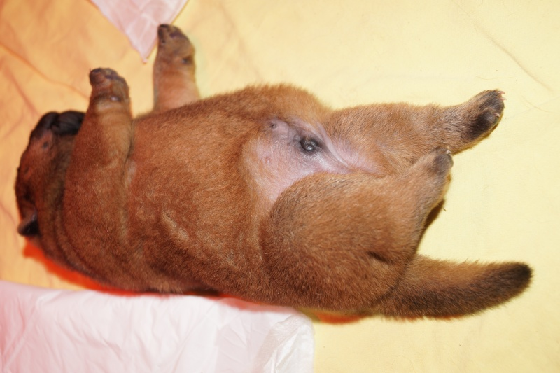 bébés chow chow 2016 chez les bambous  - Page 2 Dsc04610