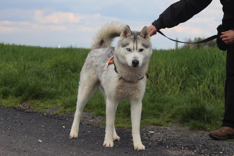 Jaiko, Husky mâle REFU45 12986911