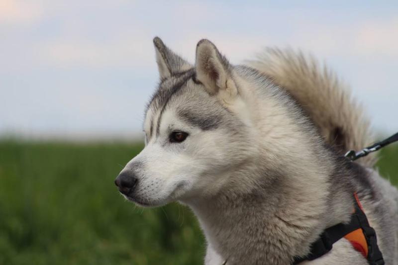 Jaiko, Husky mâle REFU45 12993311