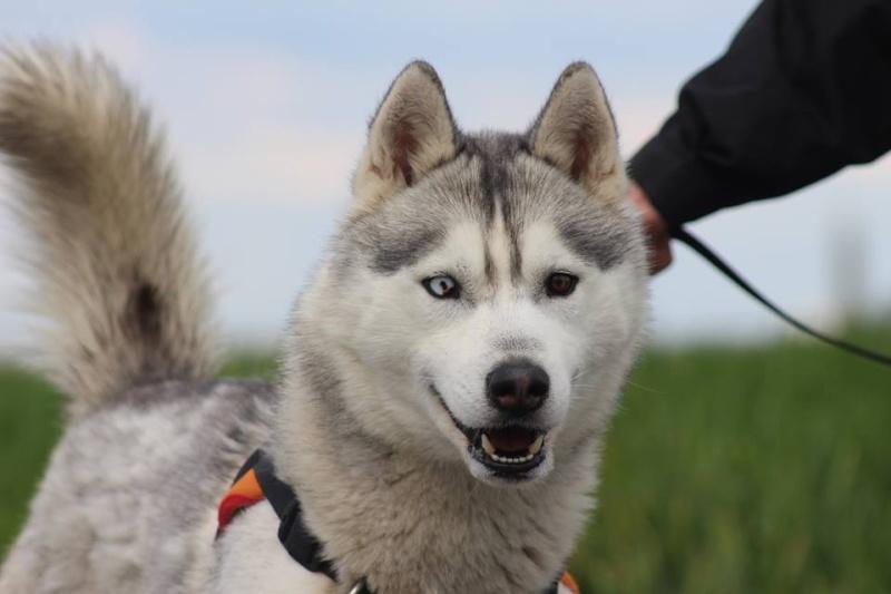 Jaiko, Husky mâle REFU45 12993411