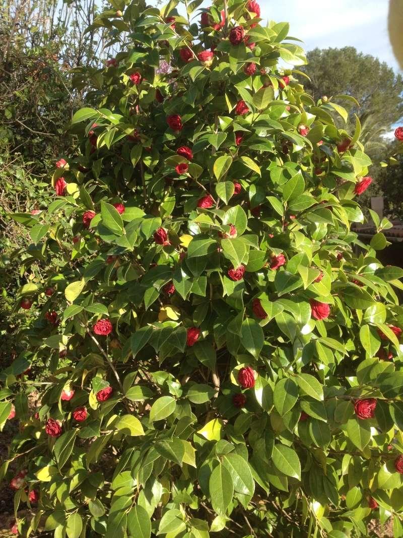 Camellia , saison 2015 - 2016 - Page 3 00710