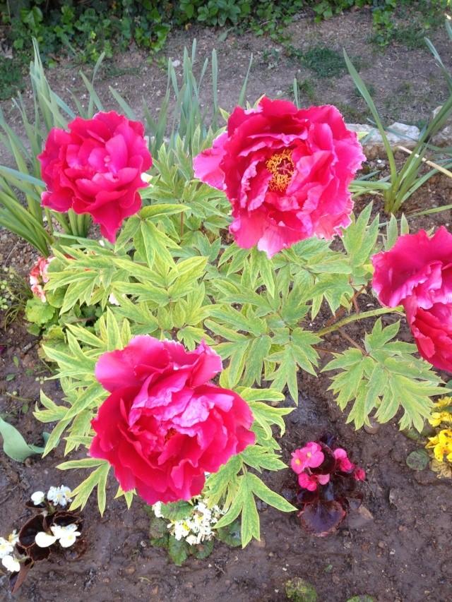 Floraisons du mois d'avril - Page 19 00711