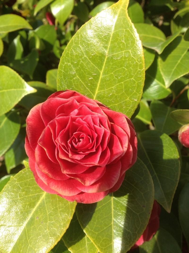 Camellia , saison 2015 - 2016 - Page 3 00910