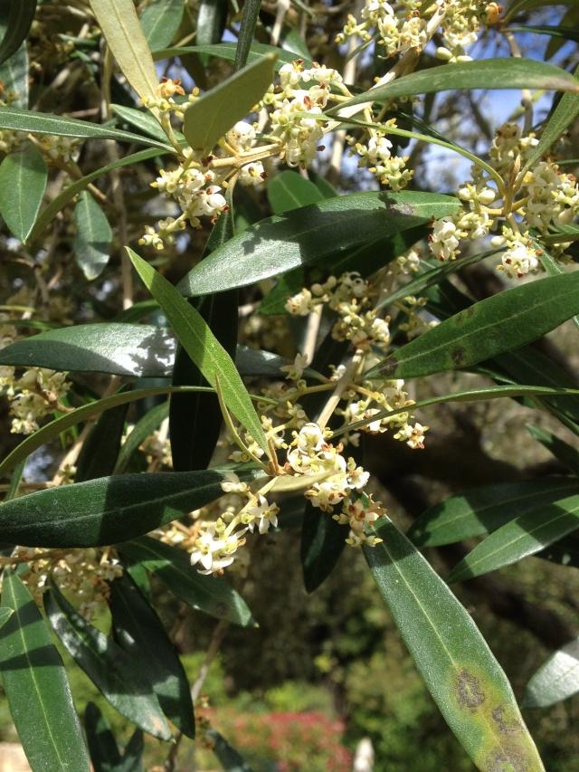 La culture et l'entretien de l'olivier- -Olea Europea - Page 4 00912