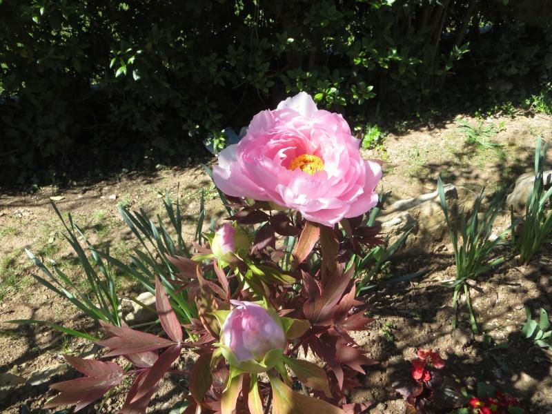 Floraisons du mois d'avril - Page 19 Pivoin10