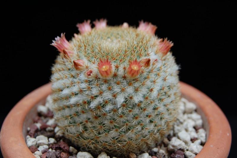 Mammillaria flavicentra 2596-212