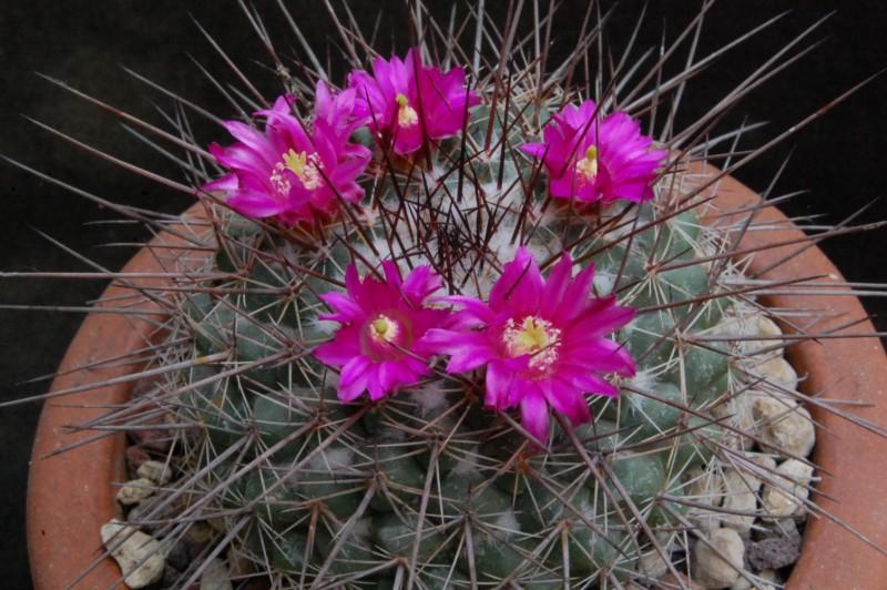 Mammillaria floresii 3124-212