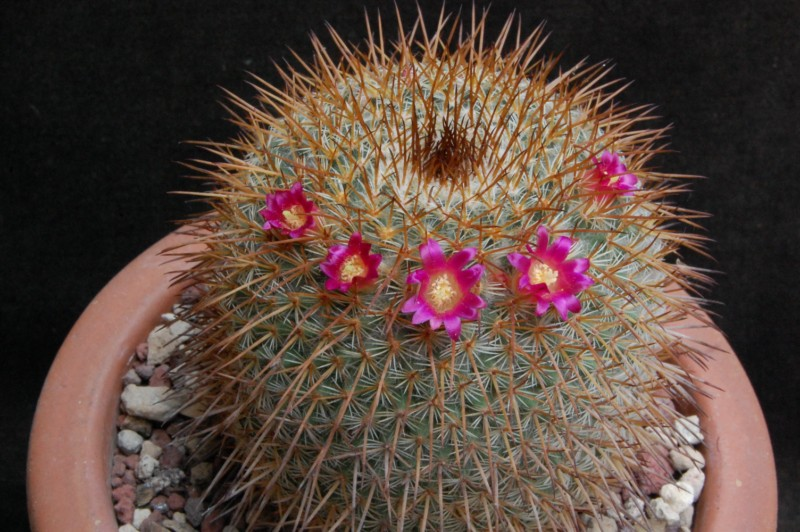 Mammillaria flavicentra 3155-210