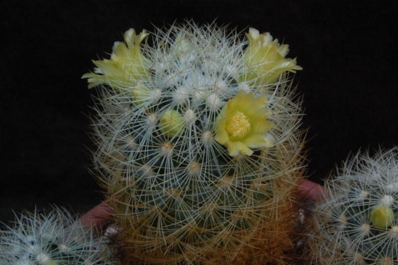 Mammillaria mieheana 3689-210