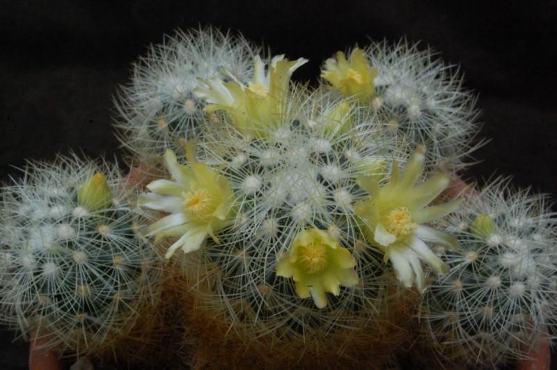 Mammillaria mieheana 3689-212