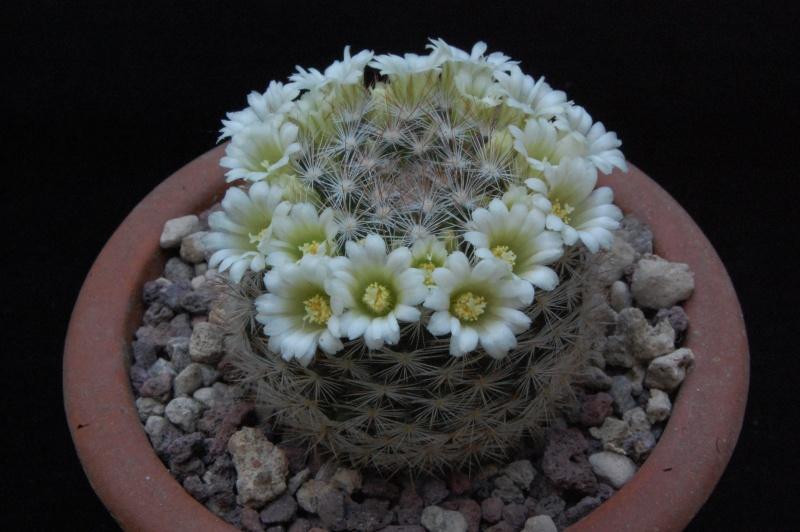 Mammillaria brachytrichion 4091-210