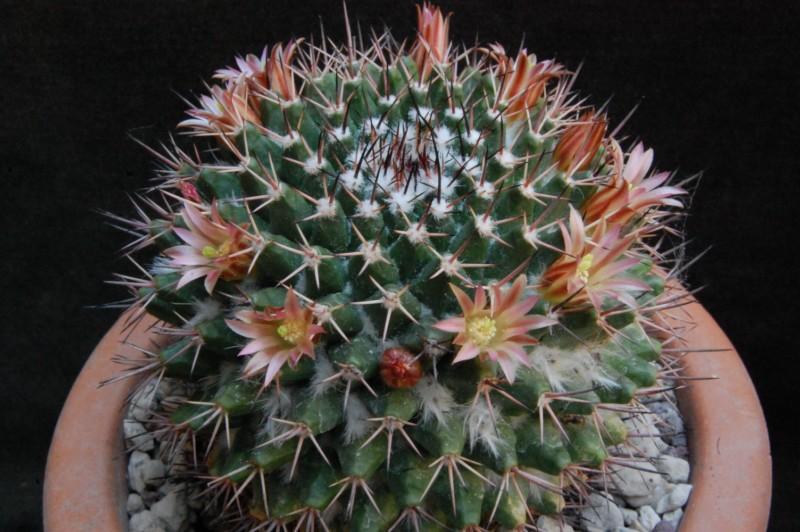 Mammillaria carnea 5083-211