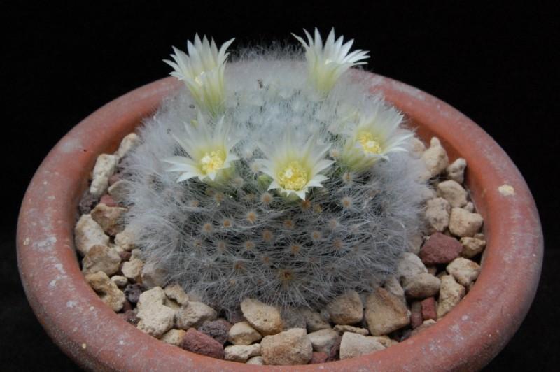 Mammillaria albicoma 6232-210