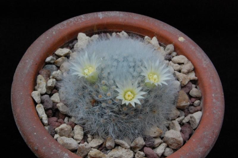Mammillaria albicoma 6232-211