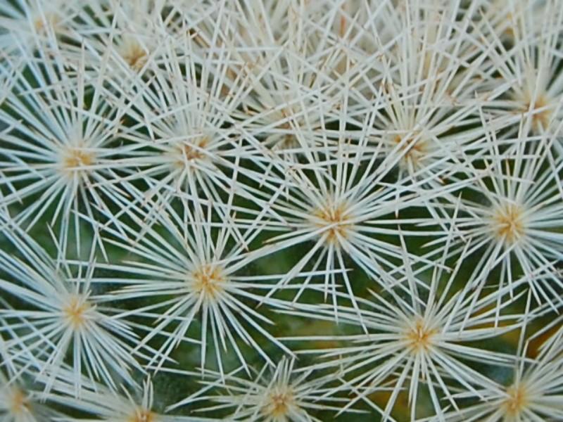 Mammillaria lasiacantha 6401-211