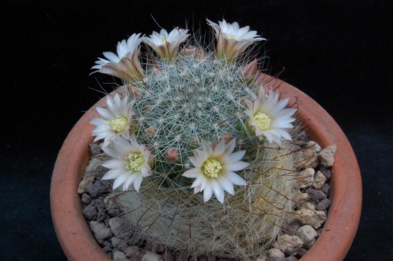 Mammillaria gilensis 8016-210