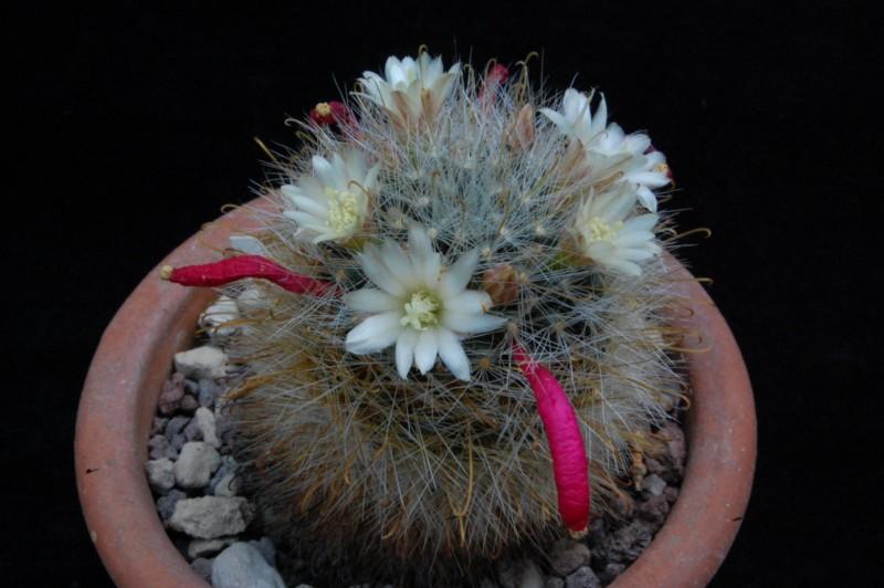 Mammillaria gilensis 8020-212